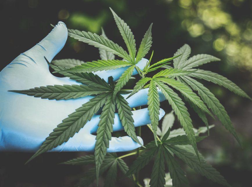 A Anvisa recebeu 590 manifestações sobre o cultivo da cannabis –de associações, profissionais de saúde, população em geral e empresas. Só 8 foram contrárias à liberação