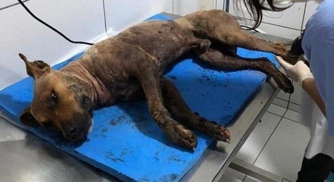 Pitbull ferido em rinha recebe cuidados em ONG após ser resgatado em sítio