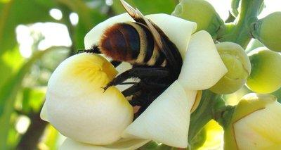 Thumb flor de bertholletia