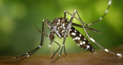 Thumb tiger mosquito 49141 1920