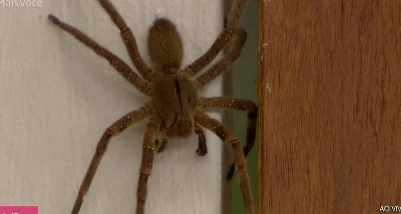 Aranha gigantesca invade estúdio do Mais Você: