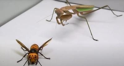 Thumb louva a deus vespa