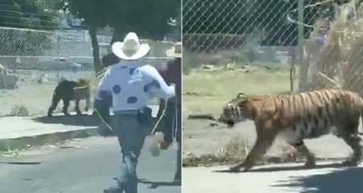 Thumb screenshot 2020 05 18 v deo de homens tentando la ar tigre que corria pela cidade se torna viral nas redes sociais