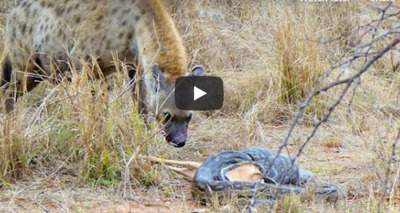 Thumb screenshot 2020 05 20 v deo em que hiena rouba presa de p ton impressiona as redes sociais