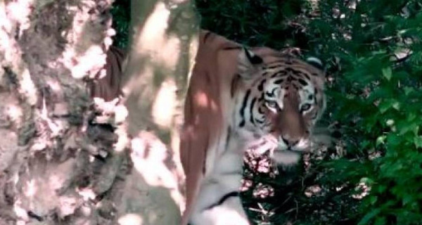 Medium screenshot 2020 07 06 tigre siberiano mata cuidadora de zool gico na frente de visitantes