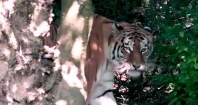 Thumb screenshot 2020 07 06 tigre siberiano mata cuidadora de zool gico na frente de visitantes