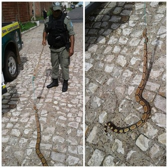 Thumb serpente capturada em campo maior