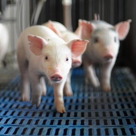 Medium porco